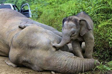 elefantino